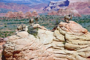 Desert Bighorn Sheep at Cottonwood Cove, South Coyote Buttes
