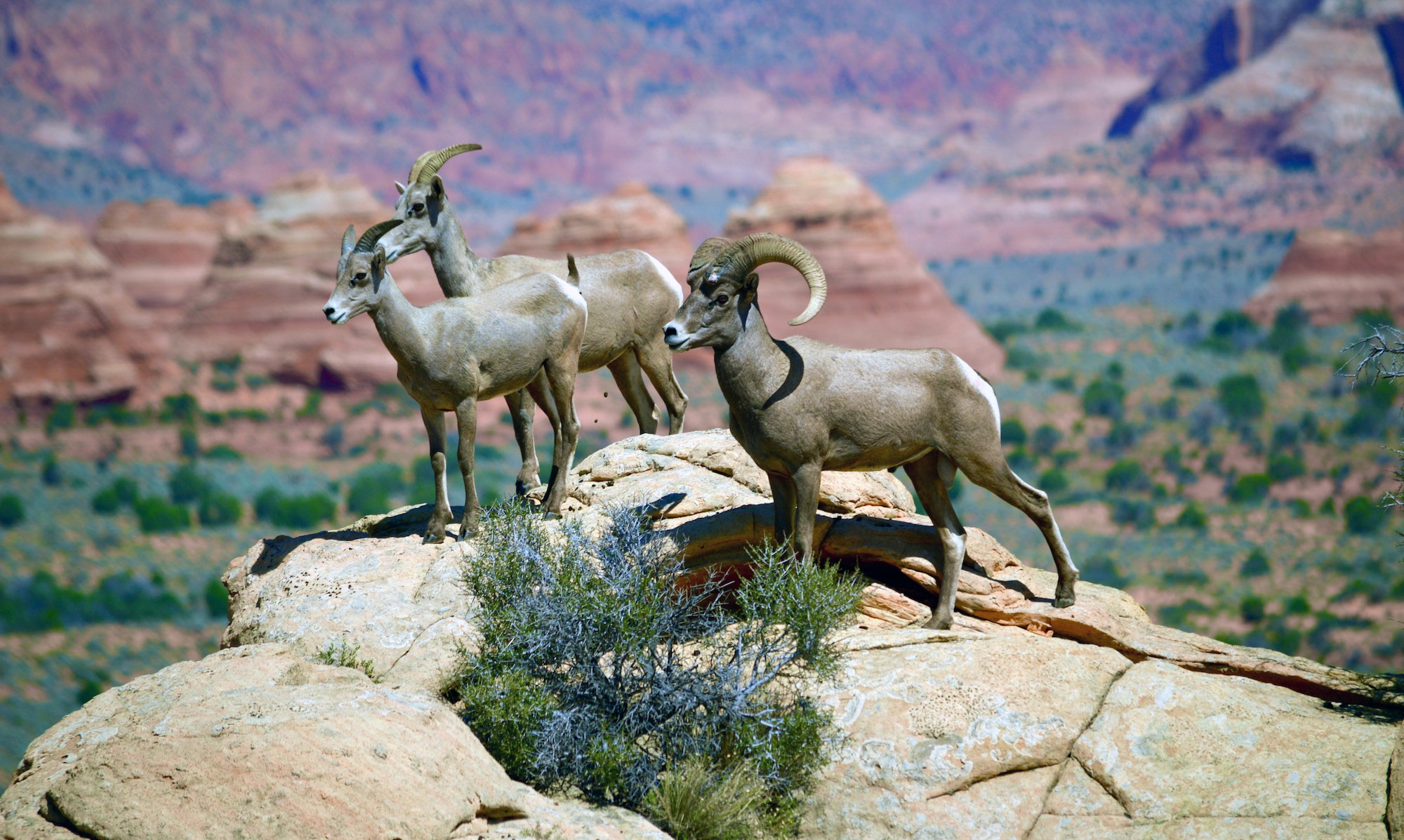 Desert Bighorn Sheep at South Coyote Buttes