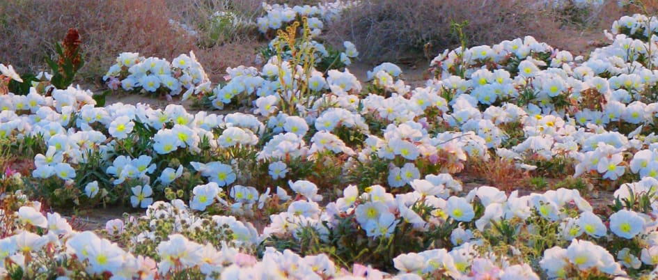 Flowers in the desert